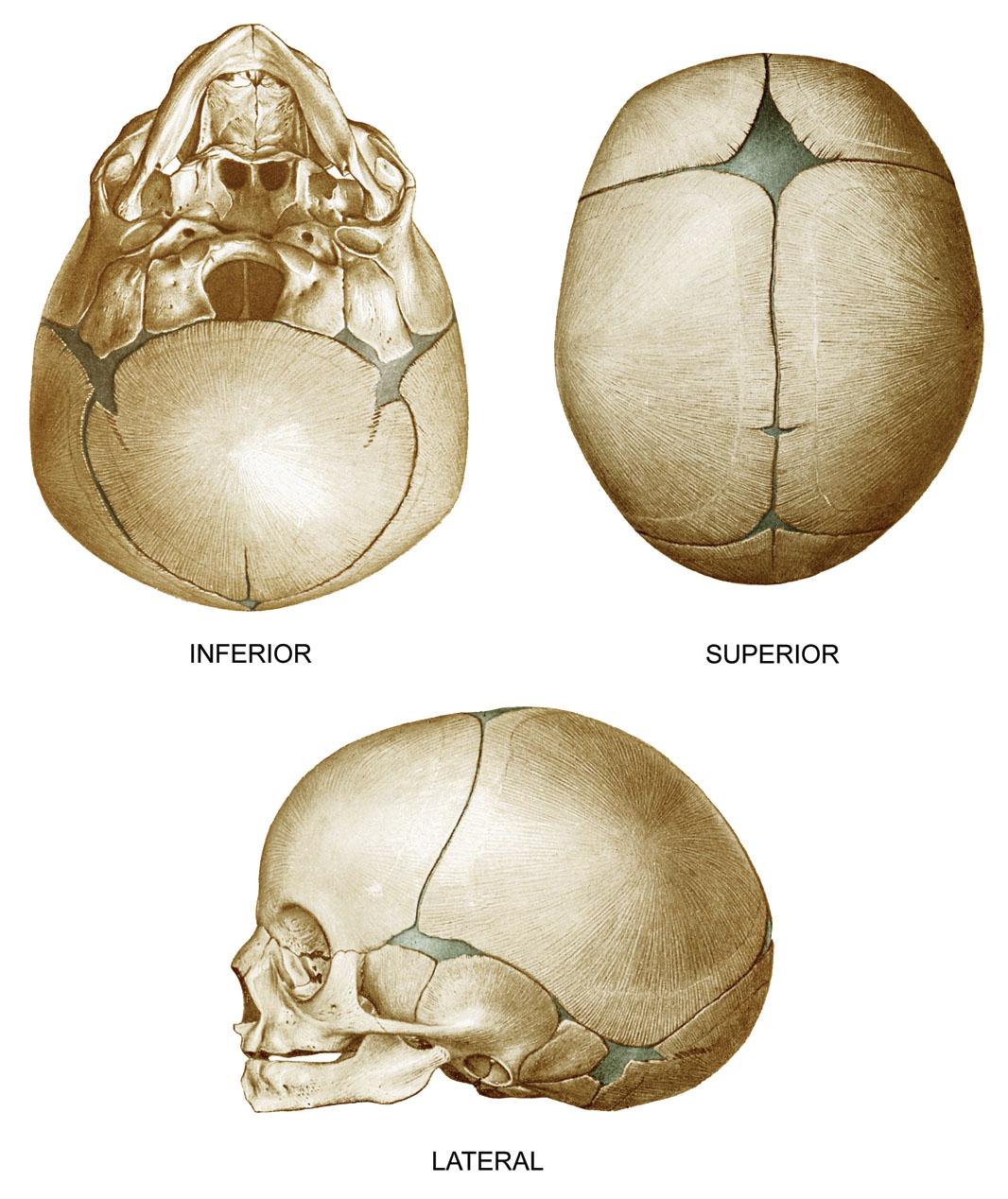 Anatomyexpert Mastoid Fontanelle Structure Detail